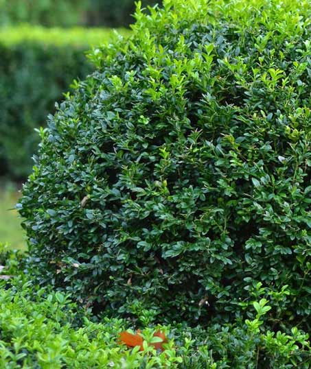 Nunez Lawn Care & Landscaping, Inc. Shrubs & Hedges